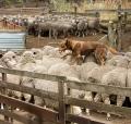 Kelpie_walking_across_the_backs_of_sheep