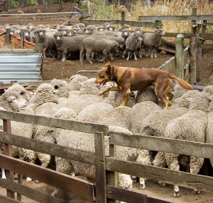 Kelpie_walking_across_the_backs_of_sheep